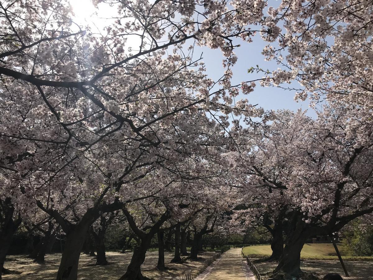 後楽園の満開の桜
