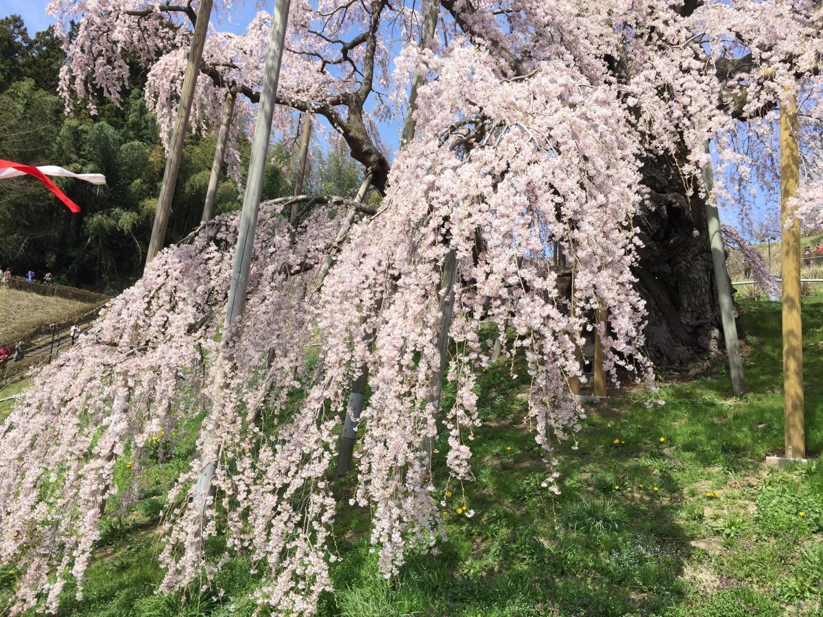 滝の様な桜