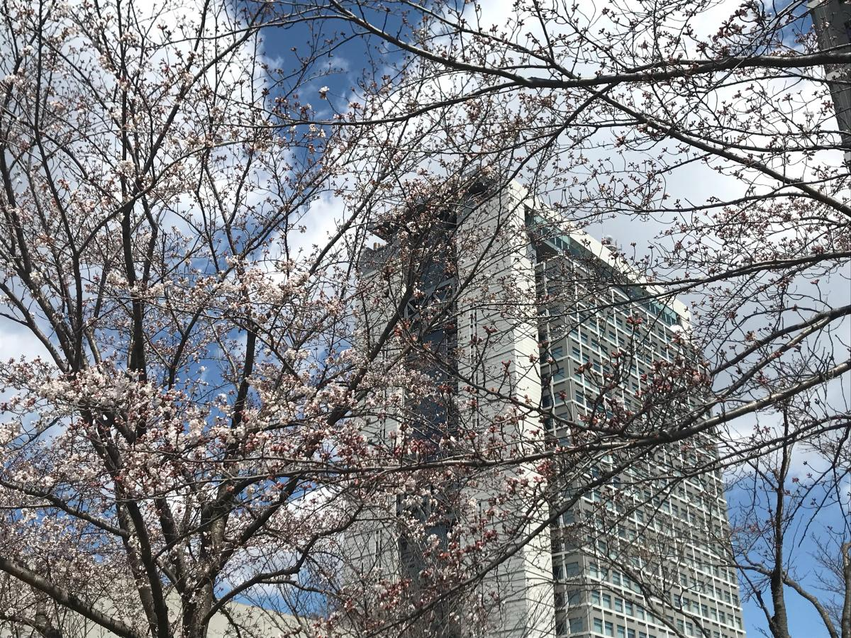 茨城県庁と桜
